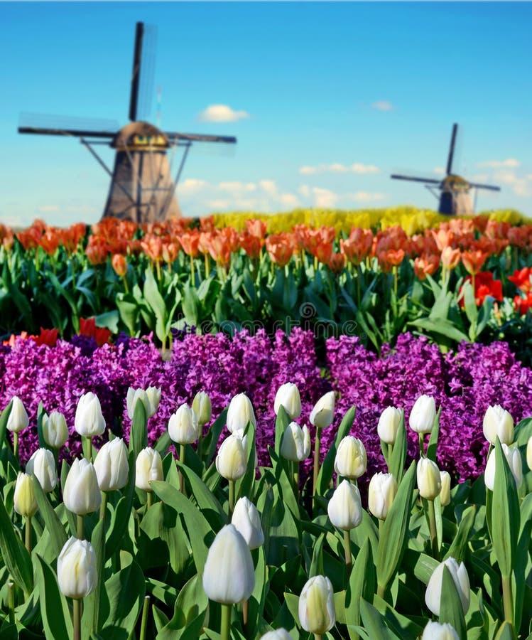 Magisch de lentelandschap met bloembedden en windmolens in Netherl stock afbeeldingen