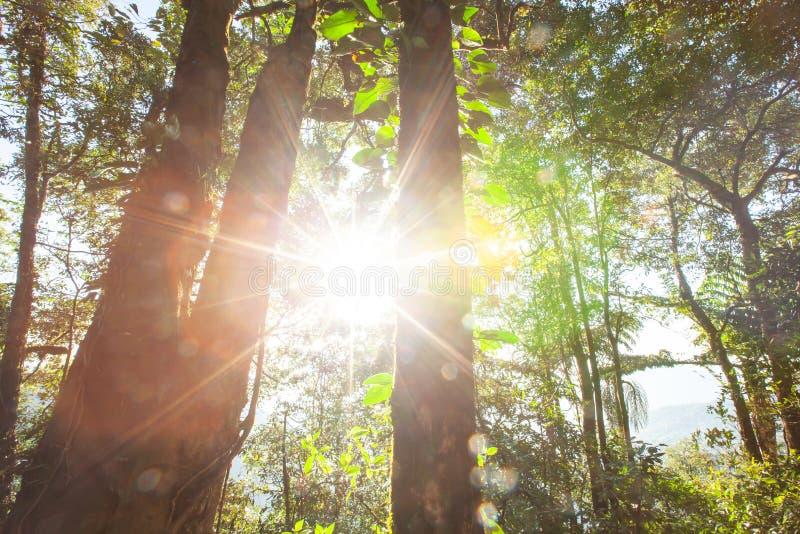 Magisch oud altijdgroen bos bij zonsopgang stock afbeelding