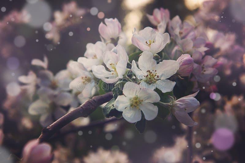 Magisch van een bloeiende appelboom in de lente met het roze kleuren royalty-vrije stock foto