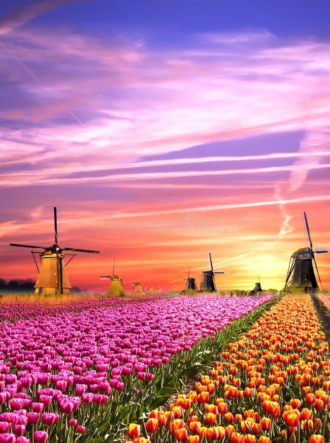 Magische Landschaften mit Windmühlen und Tulpen bei Sonnenaufgang im N lizenzfreie stockfotografie