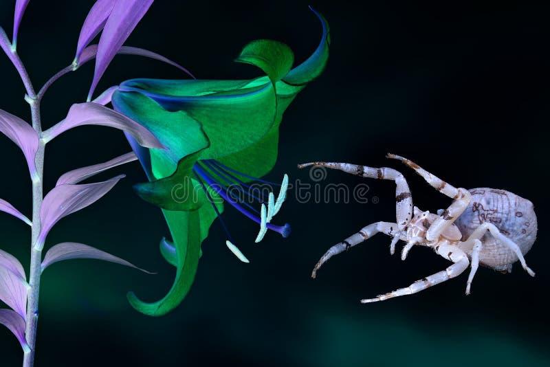 Magische lichtgevende bloeiende orchideebloem en de spin die hem bewaakt stock foto's