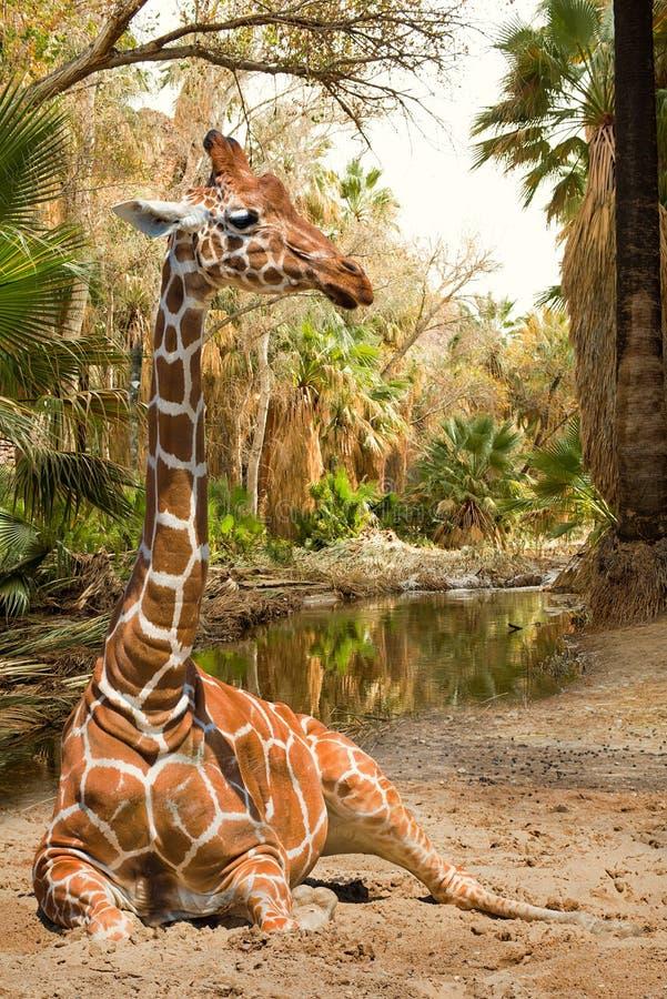 Magische mening over giraf stock foto's