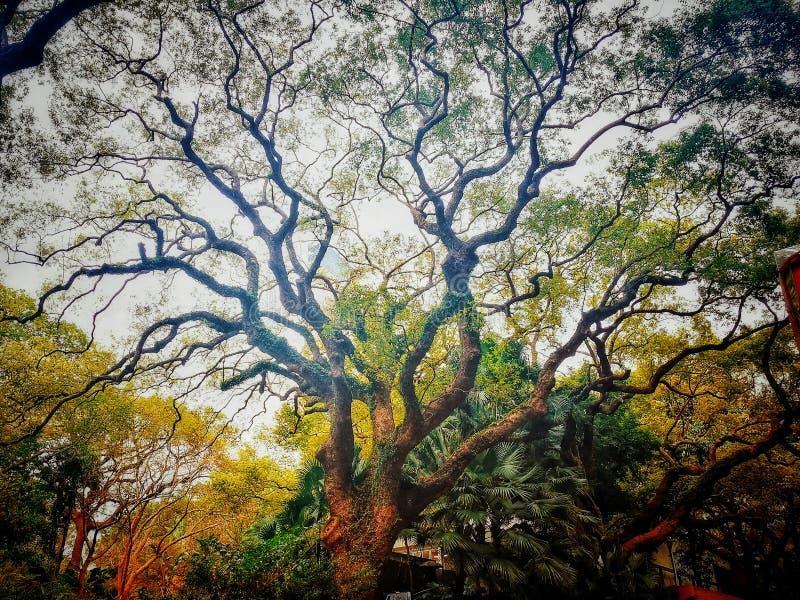 Magische oude boom De herfstbos met zonstralen stock afbeelding