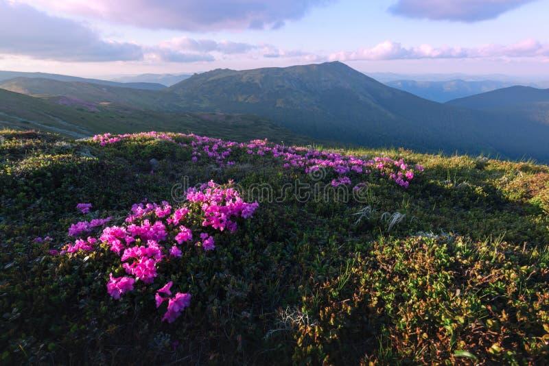 Magische roze rododendron stock afbeeldingen