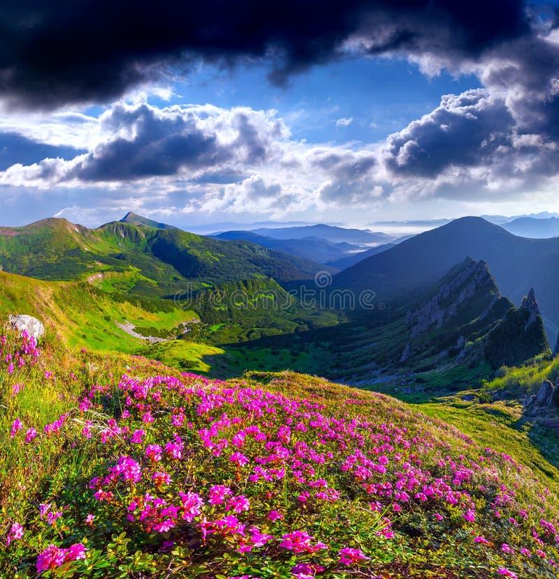 Magische roze rododendronbloemen stock afbeelding