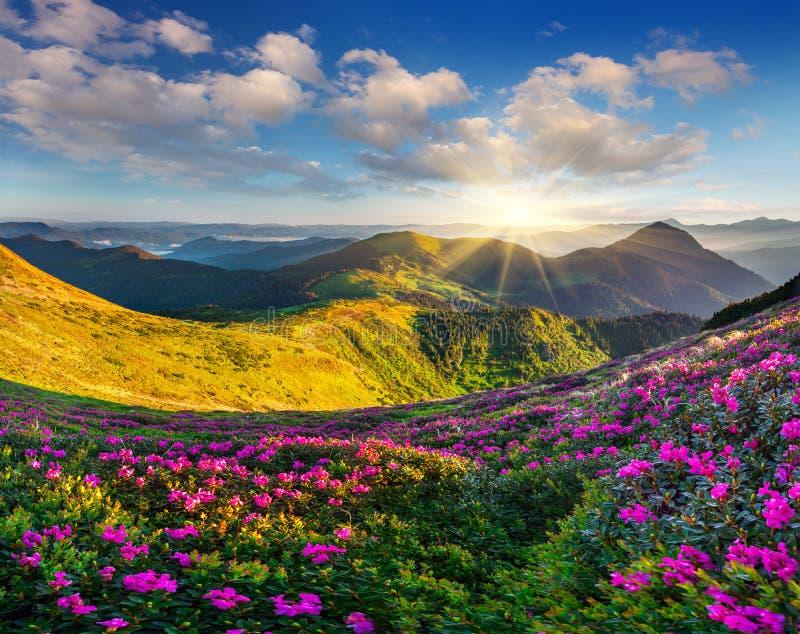Magische roze rododendronbloemen stock afbeeldingen