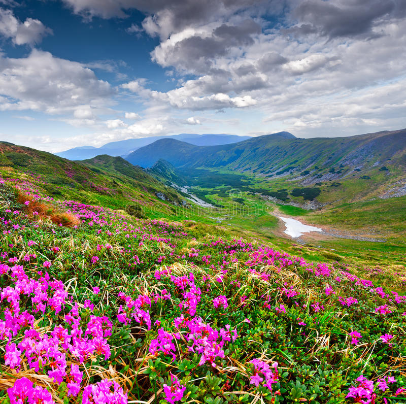 Magische roze rododendronbloemen in berg royalty-vrije stock foto's