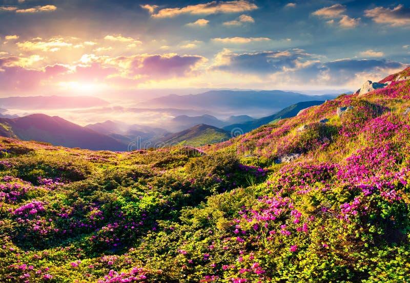Magische roze rododendronbloemen in bergen De zonsopgang van de zomer royalty-vrije stock afbeeldingen