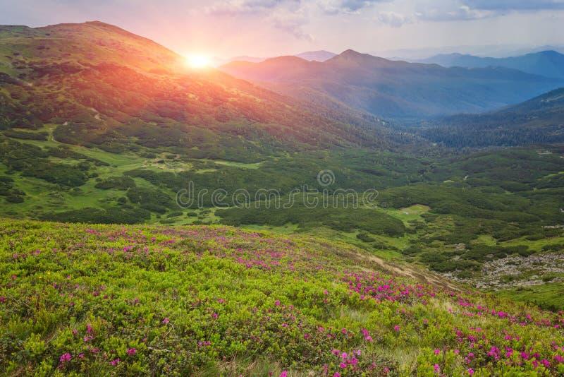 Magische roze rododendronbloemen in de bergen royalty-vrije stock afbeelding