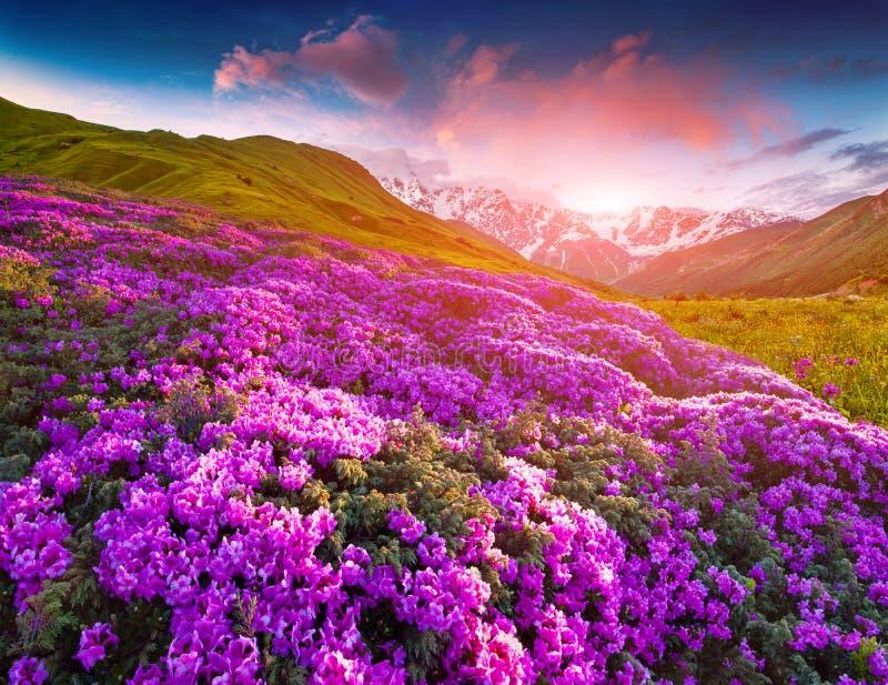 Magische roze rododendronbloemen in de bergen De zonsopgang van de zomer stock foto