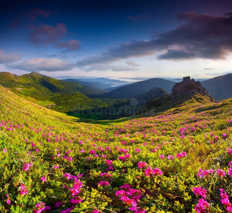 Magische roze rododendronbloemen in de zomerbergen stock foto's