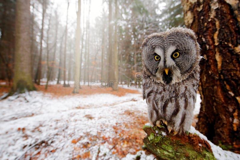 Magische vogel Groot die Gray Owl, Strix-nebulosa, achter boomboomstam wordt verborgen met net boombos in backgrond, de brede fot royalty-vrije stock afbeeldingen