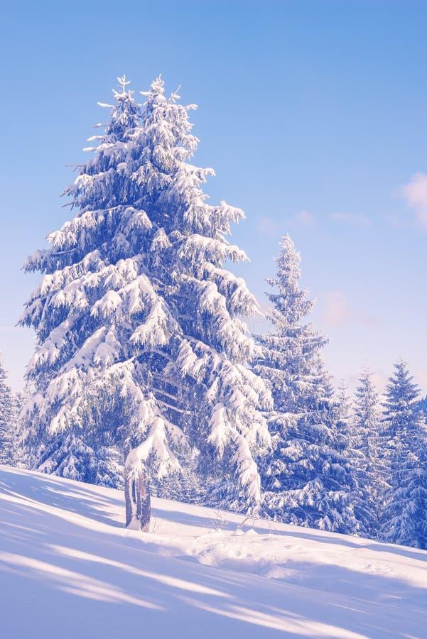 Magische Winterlandschaft mit Schnee bedeckte Kiefer stockfoto