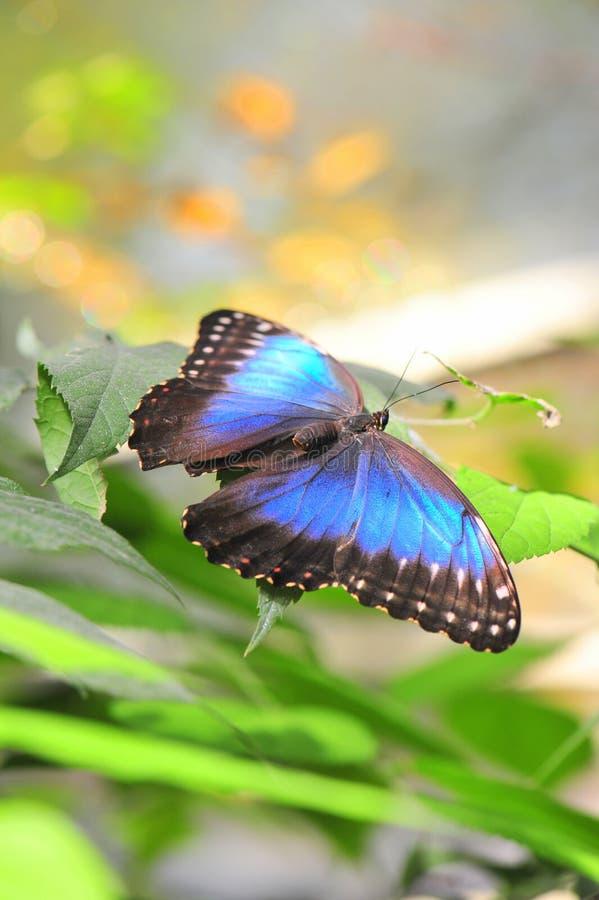 Magischer blauer Morpho-Schmetterling - Flügel geöffnet lizenzfreie stockfotos