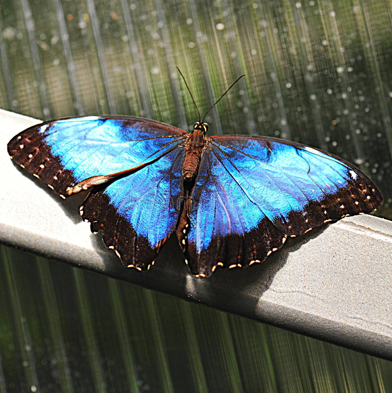 Magischer blauer Morpho-Schmetterling - Flügel geöffnet lizenzfreies stockfoto