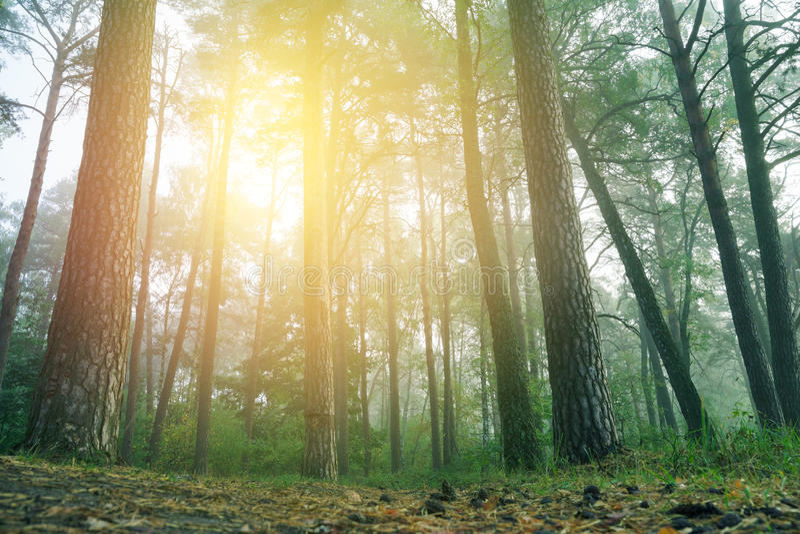 Magischer nebeliger Wald lizenzfreies stockfoto
