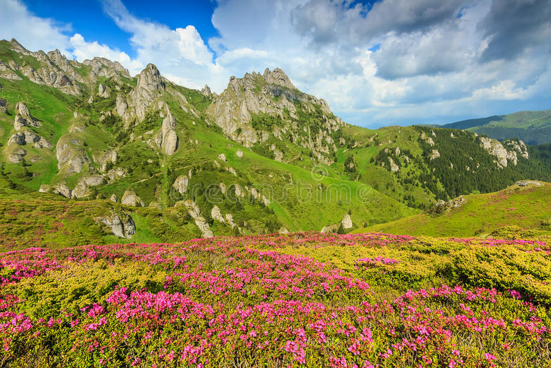 Magischer rosa Rhododendron blüht in den Bergen, Ciucas, Karpaten, Rumänien stockfotografie