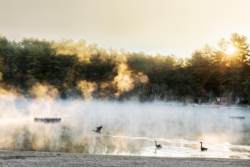 Magisk dimma i ottan på sjön Lösa änder simmar i sjön i strålarna av stigningssolen royaltyfria foton