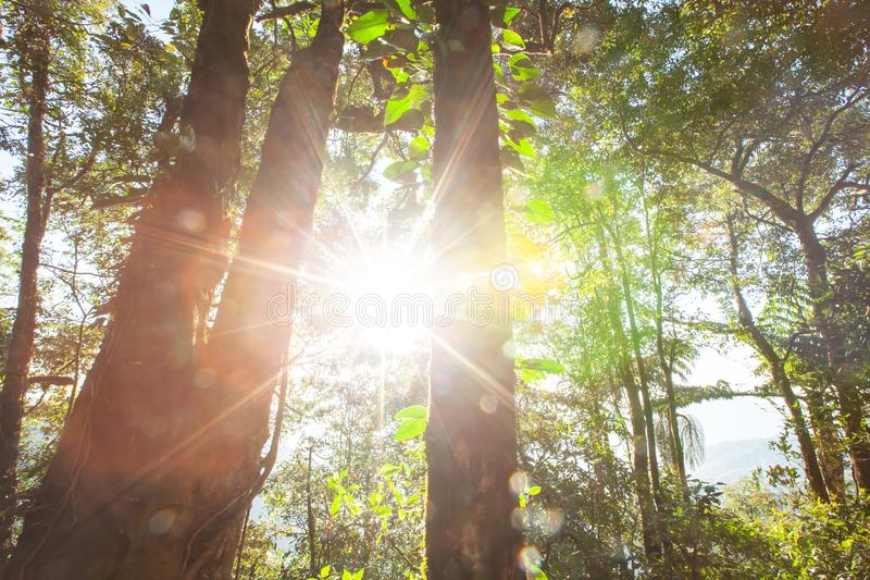 Magisk forntida vintergrön skog på soluppgång fotografering för bildbyråer