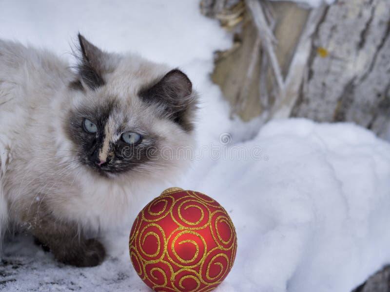 Magisk katt med den röda julbollen royaltyfri fotografi