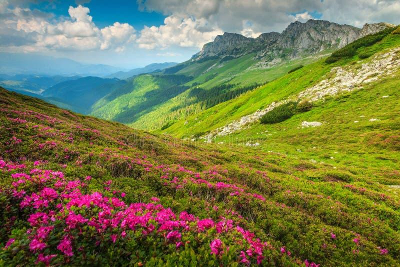 Magisk rosa rhododendron blommar i bergen, Bucegi, Carpathians, Rumänien arkivbild