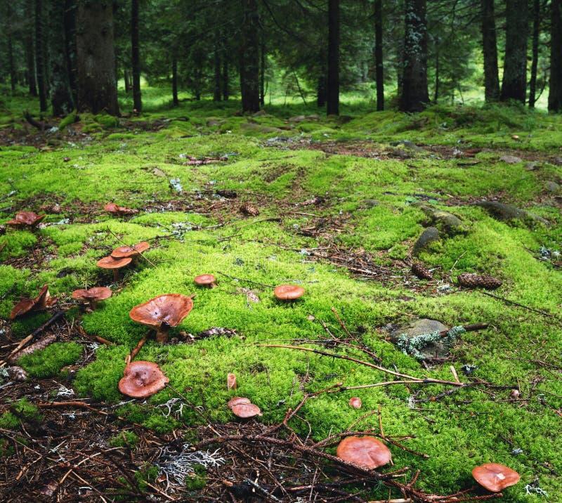 Magisk skog med champinjoner på förgrunden royaltyfri fotografi
