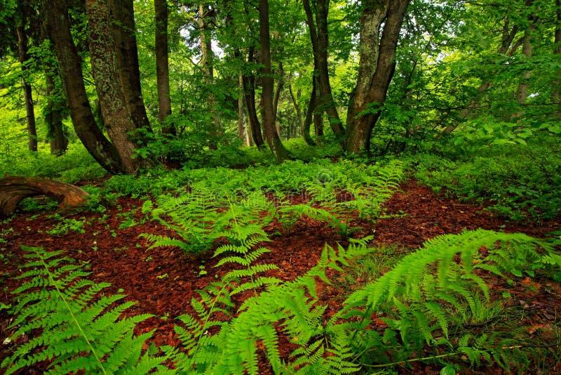 Magisk skog, tjeckiska monumentDvorsky les, Rychory, Krkonose Grön sommarvegetation i det högsta tjeckiska berget Ormbunkesidor i arkivfoto