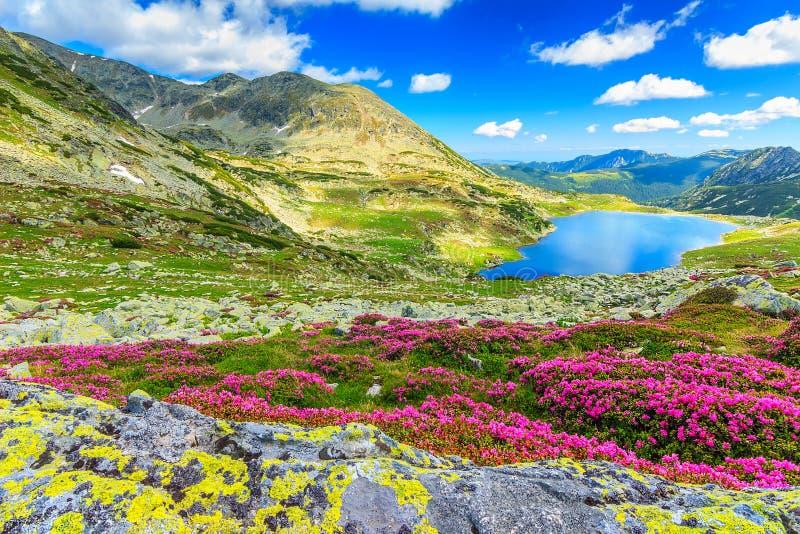 Magiska rhododendronblommor och Bucura bergsjöar, Retezat berg, Rumänien royaltyfri fotografi