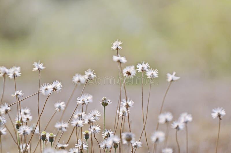 Magiska vårtusenskönor på gräsmattan på en solig dag arkivbilder