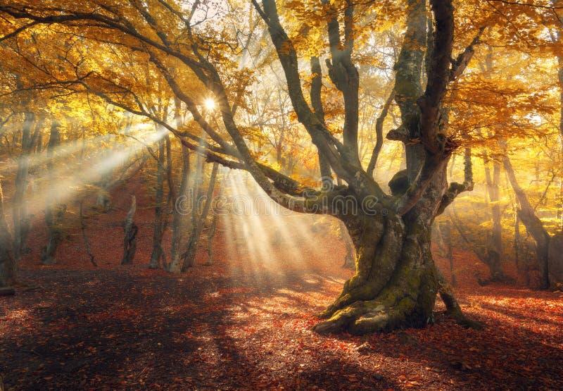 Magiskt gammalt träd Höstskog i dimma med solstrålar arkivfoton