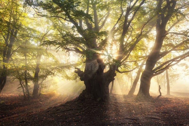 Magiskt gammalt träd med solstrålar i morgonen dimmig skog arkivfoton