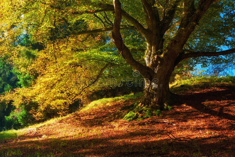 Magiskt höstlandskap med färgrika stupade sidor, det gamla trädet i den guld- skogen & x28; harmoni avkoppling - concept& x29; arkivbild