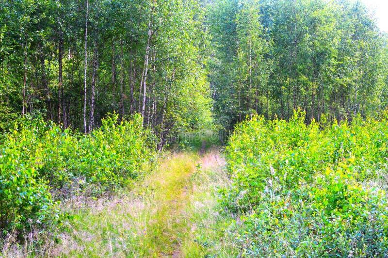 Magiskt och mystiskt löst trä Höga barrträds- och lövfällande träd Den mildrade morgonen i bakgrunden och landet för skoggräsplan royaltyfria foton