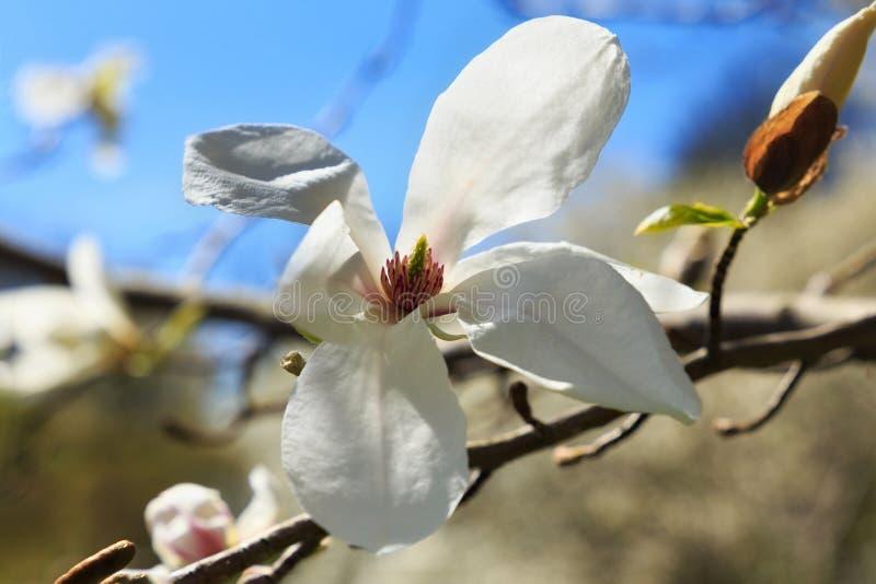 Magnólia branca de florescência imagem de stock