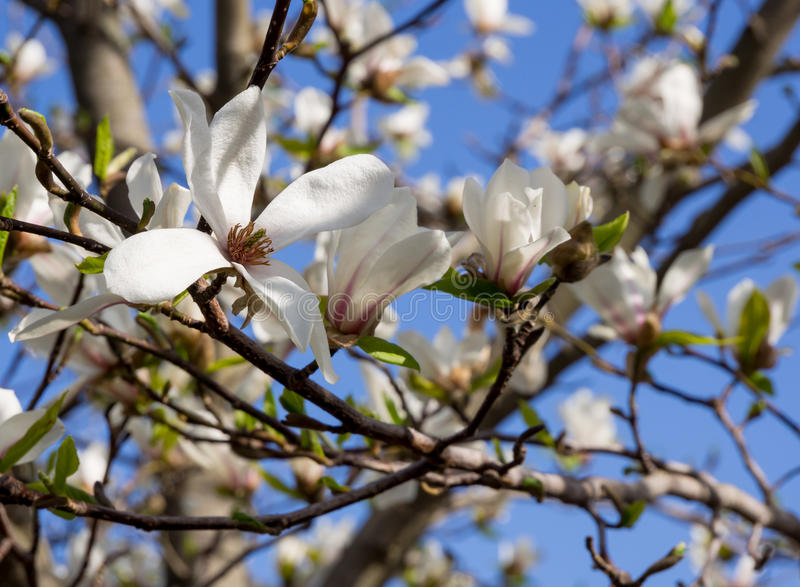 Magnólia branca de florescência na tira média de Rússia imagens de stock