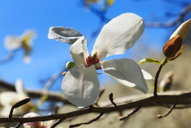 Magnólia branca de florescência no jardim imagem de stock royalty free