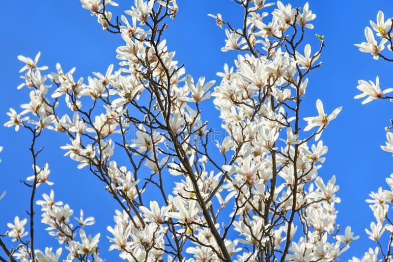 Magnólia branca de florescência no jardim imagens de stock