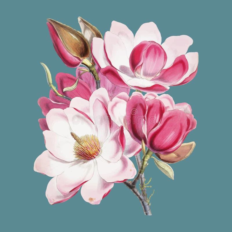 Magnólia Campbellii da magnólia do ` s de Campbell, planta de florescência das ilustrações das plantas Himalaias 1855 por W H Wal ilustração do vetor