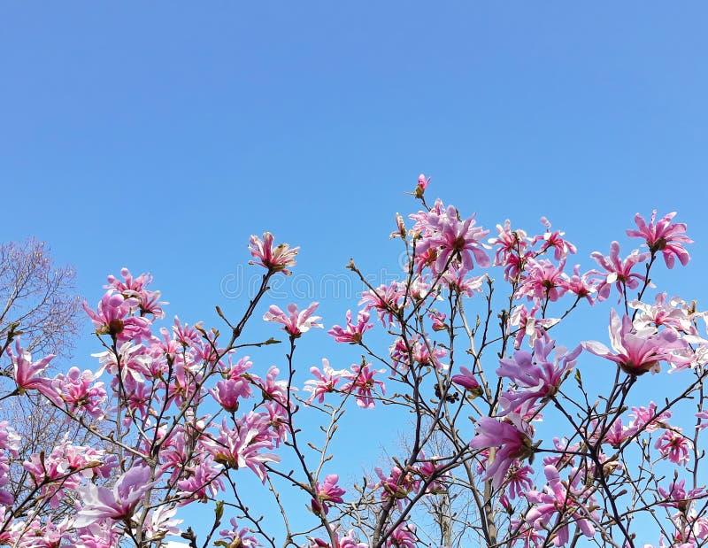 Magnólia chinesa com fundo do céu azul - soulangeana da magnólia X fotografia de stock royalty free