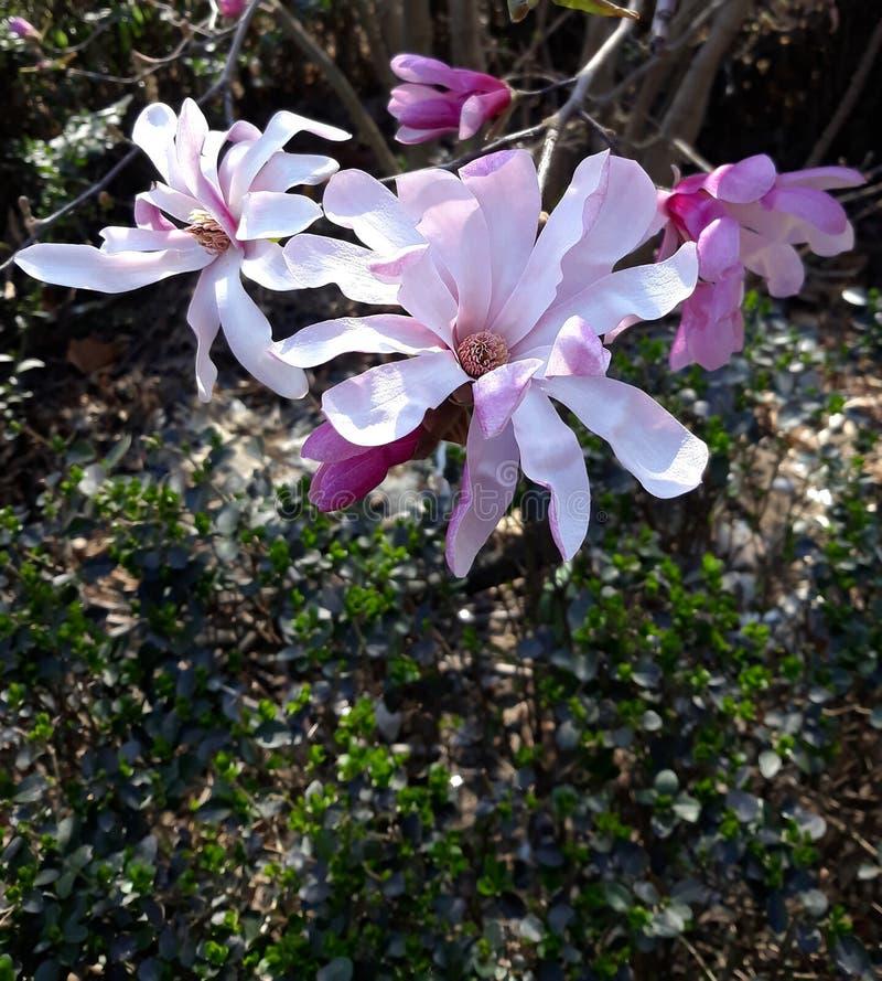 Magnólia chinesa do close-up - soulangeana da magnólia X fotografia de stock royalty free