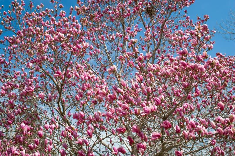 Magnólia cor-de-rosa imagens de stock
