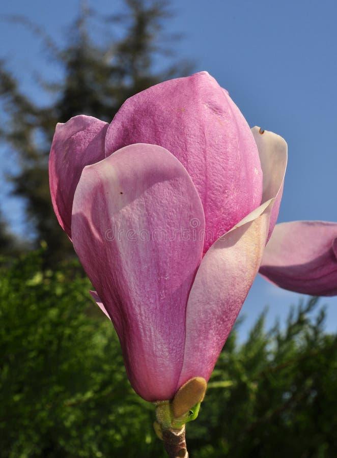 Magnólia cor-de-rosa foto de stock royalty free