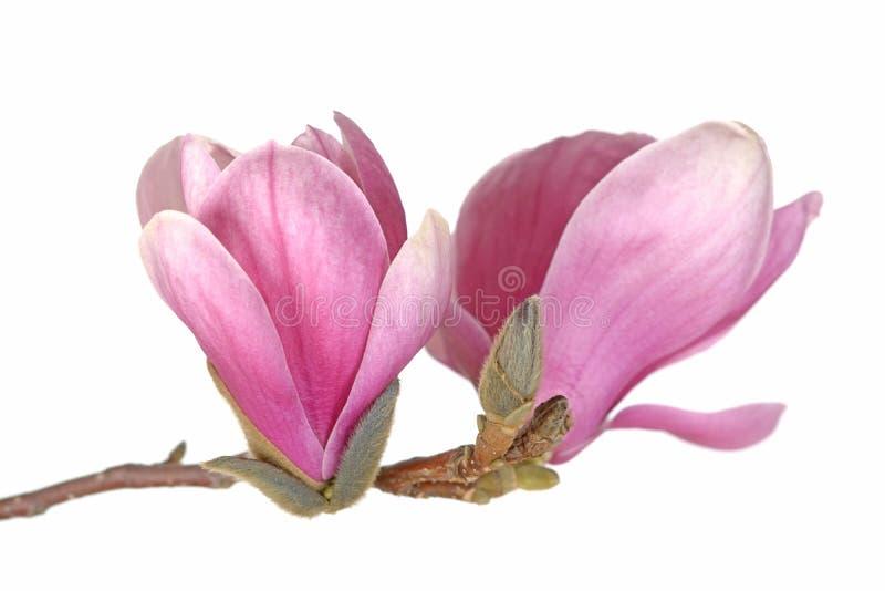 Magnólia cor-de-rosa fotografia de stock royalty free