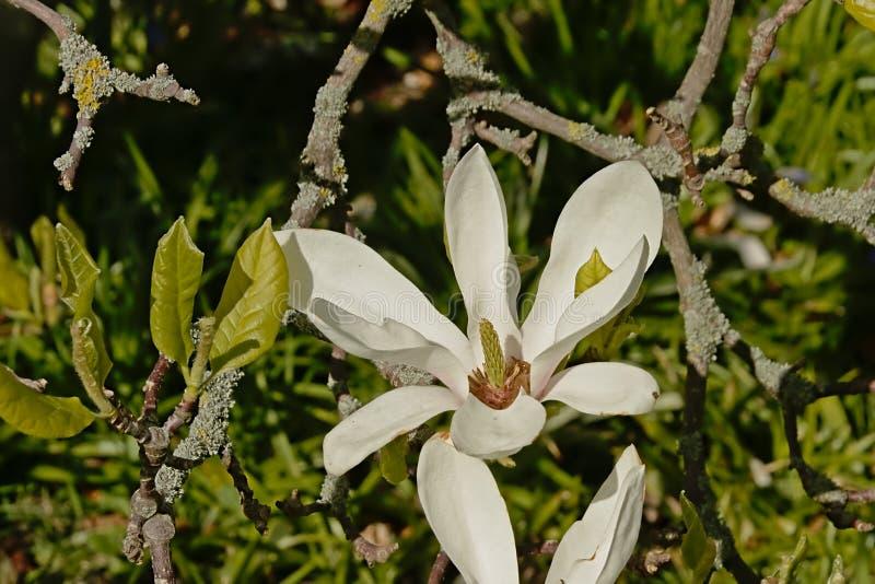 Magnólia de estrela do twhite de Brigh no jardim imagem de stock