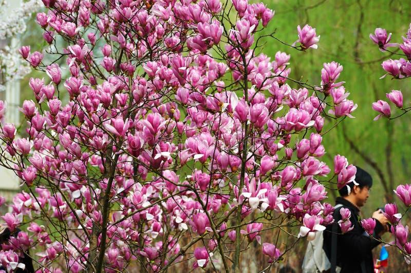A magnólia de florescência foto de stock