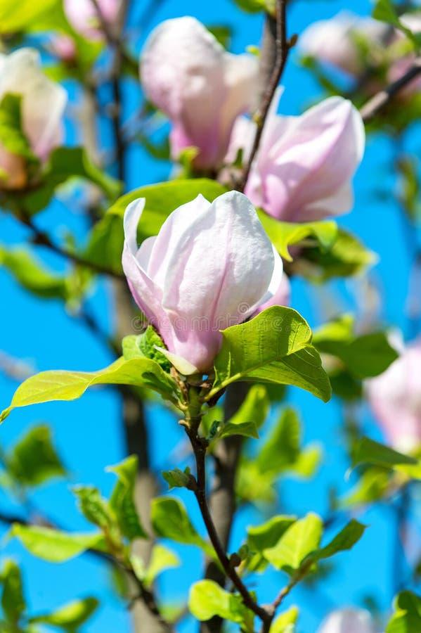 A magnólia de florescência floresce no tempo de mola contra o céu azul foto de stock royalty free