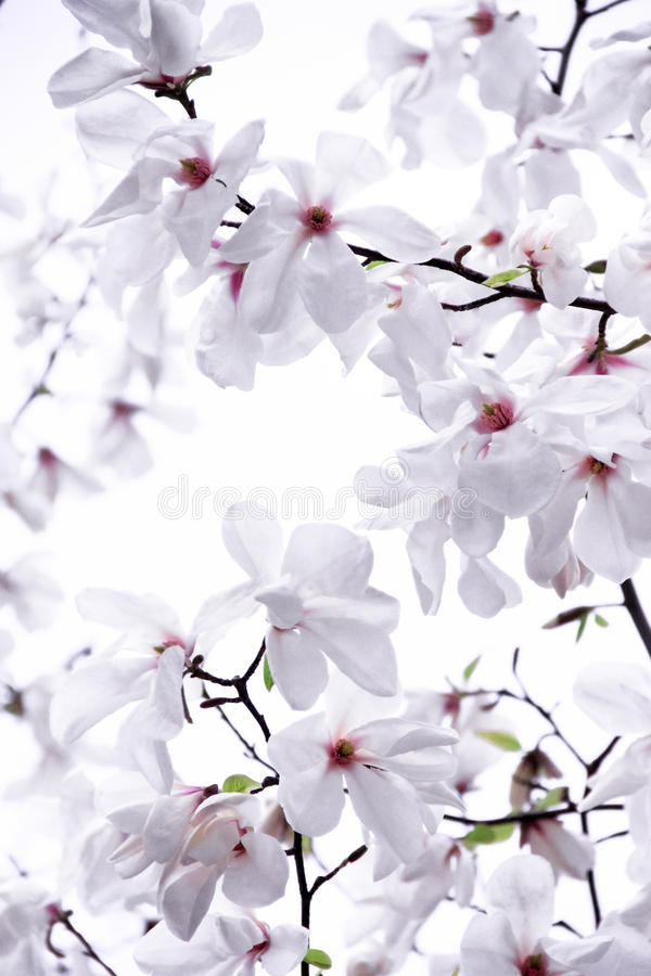 Magnólia delicadamente branca fotografia de stock royalty free