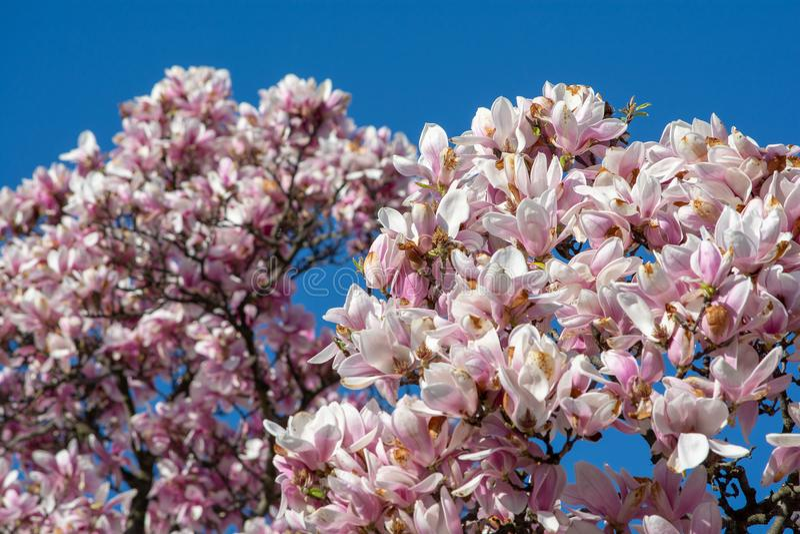 A magnólia floresce a árvore com céu azul na primavera em Bucareste, Romênia imagem de stock