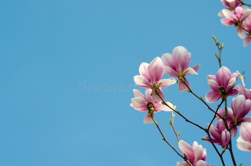 A magnólia roxa bonita floresce na primavera a estação na árvore da magnólia Fundo do céu azul imagens de stock