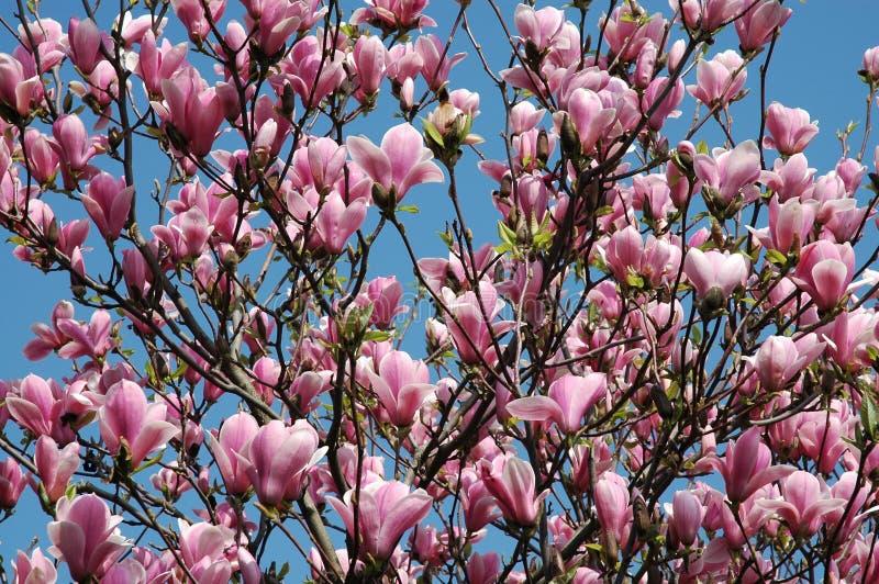 Magnólias cor-de-rosa imagem de stock